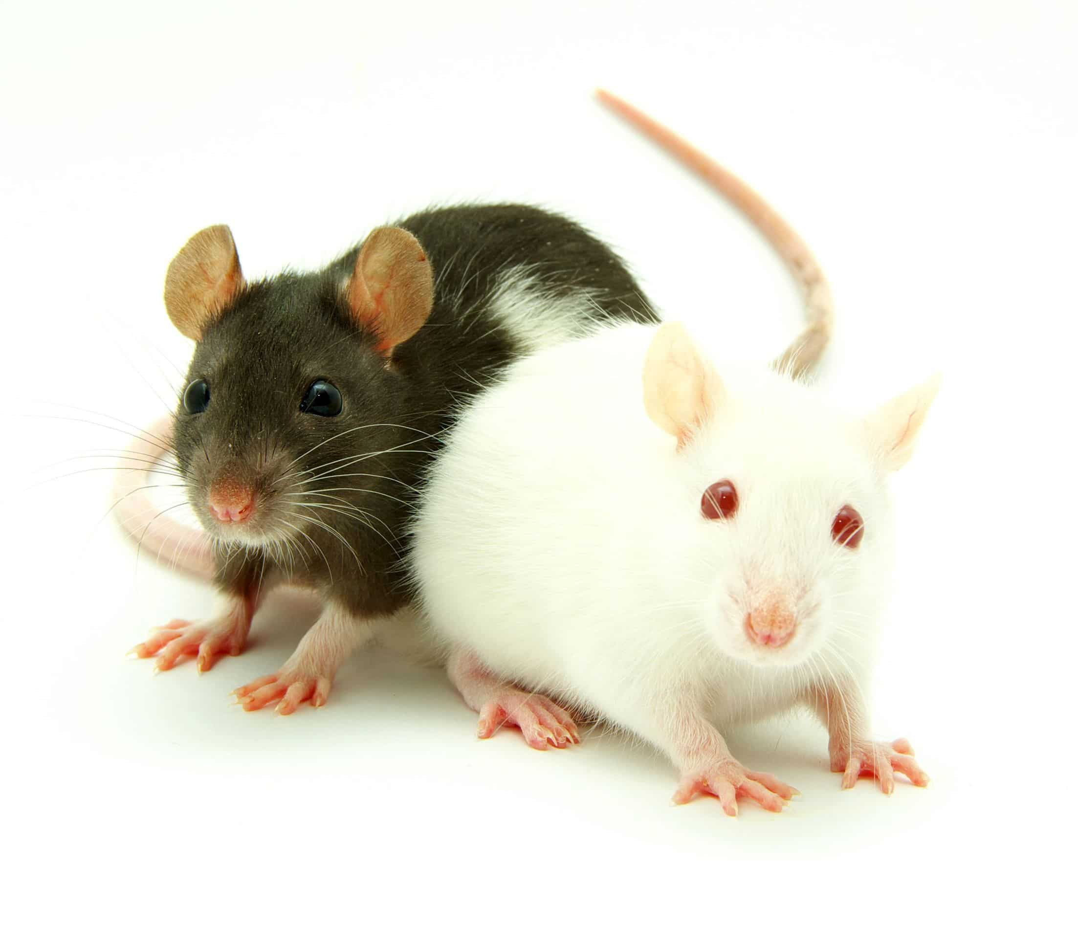 Plaga de roedores