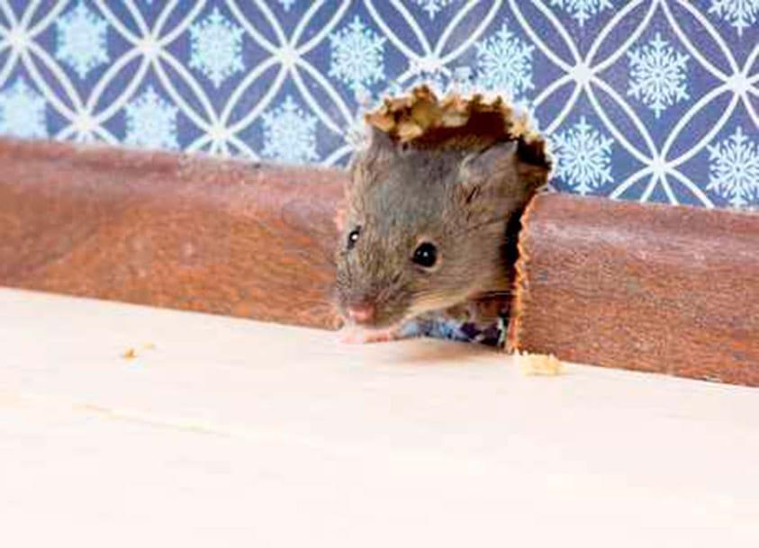 Eliminar ratones falso techo excellent conoce como puedes - Como cazar ratones ...