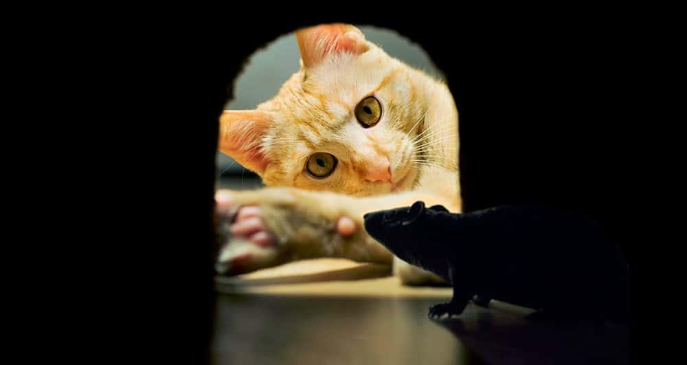 Tengo ratones en casa gallery of cmo matar ratas grandes en casa formas maneras venenos with - Como eliminar ratones en el hogar ...